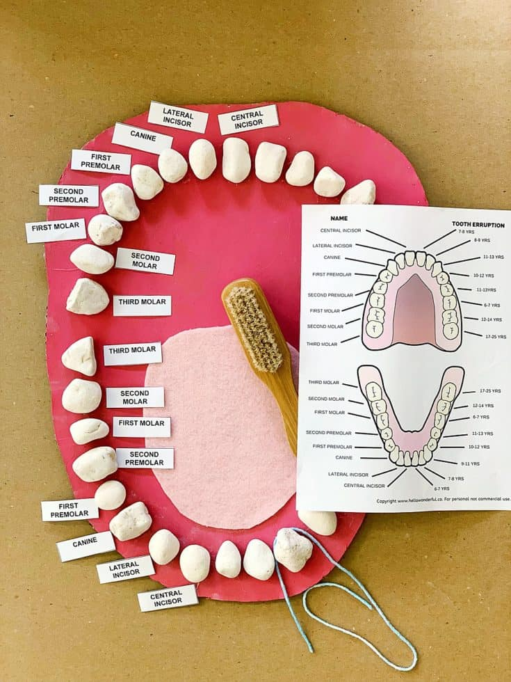 Teeth Mouth Anatomy Learning Activity